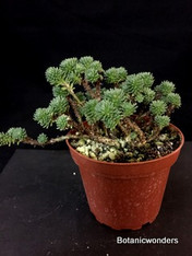 "Sedum multiceps, 4"" pot, ""Mini Joshua Tree"""