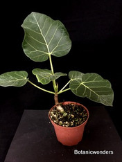 "Ficus arbutifolia, 4"" pot, Great for bonsai!"
