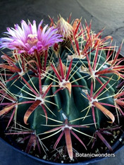 "Ferocactus latispinus, 8"" pot, The best plants I have ever sold! Perfect specimens!"