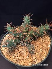 "Euphorbia clavigera, 6"" pot, Seed Grown"