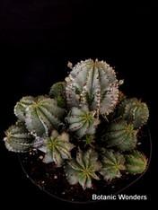 """Euphorbia polygona """"Snowflake"""", 8"""" pot"""
