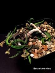 "Euphorbia cylindrifolia, 3.5"" pot, Madagascar species!"