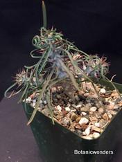 "Euphorbia gottlebei, 3.5"" pot, Madagascar Jewel!"