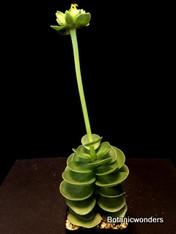 "Portulaca molokiniensis, 2""pot, Cool Hawaiian succulent!"