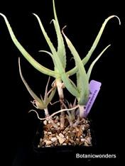 "Aloe acutissima Var. itampolensis, 4"" pot"