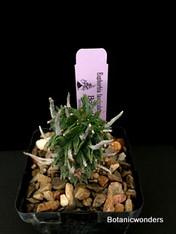 """Euphorbia fasciculata, 4"""" pot"""