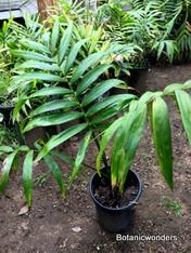 Chambeyronia macrocarpa, 5 gallon, green emergent