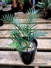 Encephalartos longifolius blue, 1 gal