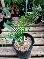 Encephalartos natalensis, 5 gallon, Sale Price!