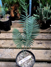 Dioon purpusii, 1 gallon, Rare!