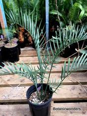 Encephalartos lehmannii, 1 gallon