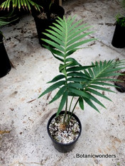 Dioon rzedowskii, 1 gallon, Extra large!