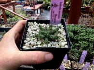 """Euphorbia atroviridis, 3"""" pot, Very Rare!"""