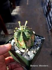 """Euphorbia meloformis subsp. valida, 3.5"""" pot"""
