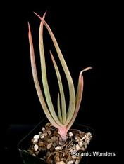 """Aloe speciosa, 4"""" pot"""