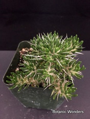 "Maihuenia poeppigii, 3.5"" pot, Very rare Species!"