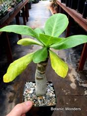 """Bringhamia insignis, 3.5"""" pot, Hawaiian Succulent!"""