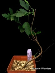 "Ficus carica x pumila, Ruth Bancroft, 6"" pot, Cool Cross!"