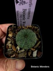 """Euphorbia symmetrica, 2"""" pot, Very rare!"""