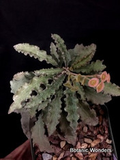 "Euphorbia francoisii, 6"" pot, Beautiful specimen with extra wavy leaves!"