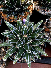 "Agave victoria-reginae 8"" Pot Massive plants with high white markings!"