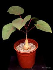 Ficus petiolaris - 1 Gallon Specimen!