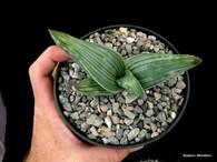 "Aloe karasbergensis 5"" Pot - Rare Aloe species with yellow striped leaves!"