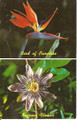Vintage Hawaiian Passion Flower, Bird of Paradise Postard by Max Basker & Son -