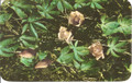 Vintage Hawaiian Wood Rose - Ipomea Tuberosa Postcard by Max Basker & Sons - 1960's