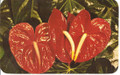 Vintage Hawaiian Red Anthuriums Postcard by Max Basker & Sons - 1960's