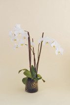 DELUXE DOUBLE STEM ORCHID PLANT