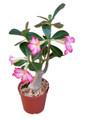 """Adenium Obesum """"Desert Rose"""""""