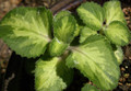 Spanish Thyme or Cuban Oregano Plant - Variegated