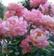 Portland Rose Scent