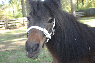 Solid Color Biothane Buckle Nose Mini Halter
