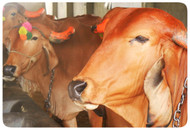 16 boxes - Organic Agnihotra Cow Dung