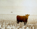 Brown Cow in Morning Snow