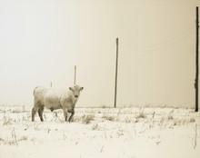 Charloise in Fresh Morning snow, Amana, IA