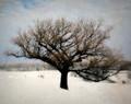 Wild Oak Under Blue Sky, Amana, IA