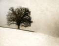 Wild Oak on Snowy Hill, Amana, IA
