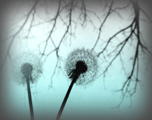Dandelions in Blue