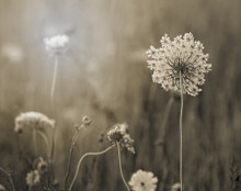 Queens Anne's Lace #2