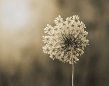 Queen Anne's Lace #1