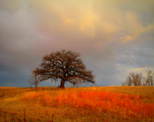 Lone Oak After Morning Storm, Johnson Co., IA