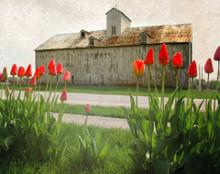 Barn and Tulips, Middle Amana, IA