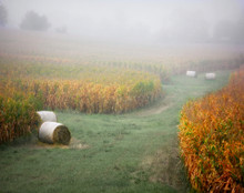Bales in Foggy Cornfield, Johnson Co., IA