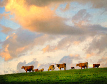 Cow in Clouds, Amana, IA