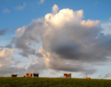 Cows in Clouds, Amana, IA