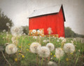 Red Barn in Dandelions, East of East Amana, IA