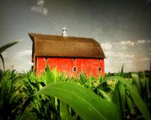 Red Barn in Tall Corn, Rural Johnson Co., IA